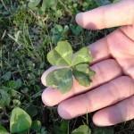 ジョギング中に見つけた四つ葉のクローバー