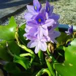 ホテイアオイの花が咲きました!